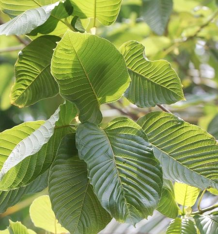 Robust Quality Green Vein Maeng Da Horn Kratom